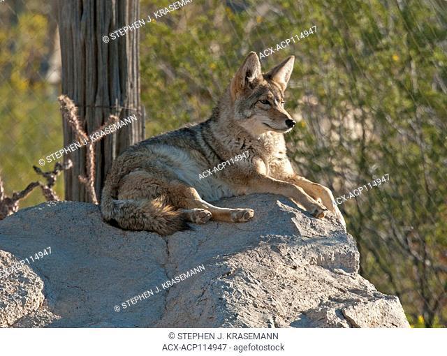 Coyote (Canis latrans), resting but alert at the Arizona Sonoran Desert Museum, Tucson, AZ