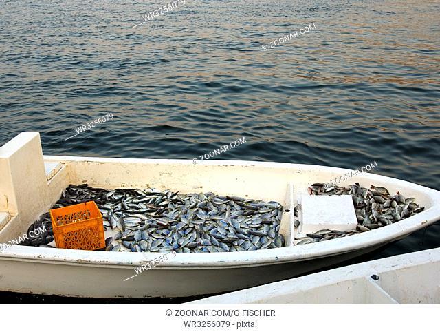 Bug eines Fischerboots voller Fisch, Khasab, Musandam, Sultanat Oman / Bow of a fishing boat filled withf fish, Khasab, Musandam, Sultanate of Oman