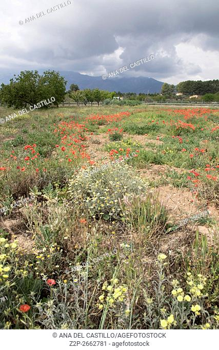 Wild flowers in Mariola mountains Alicante Spain