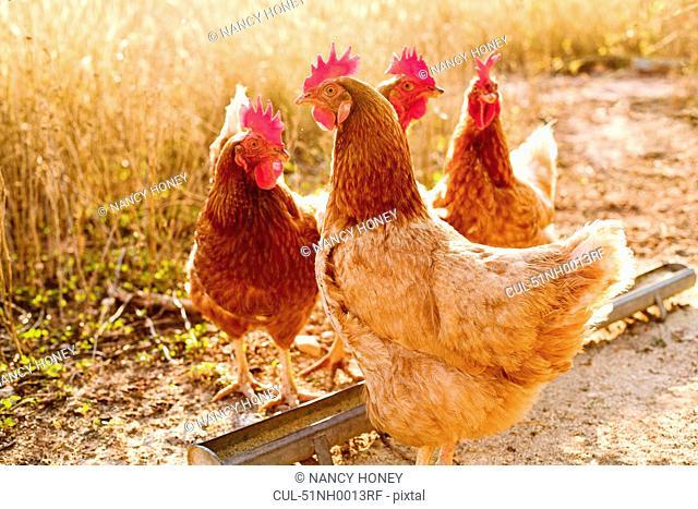 Chickens in dirt yard