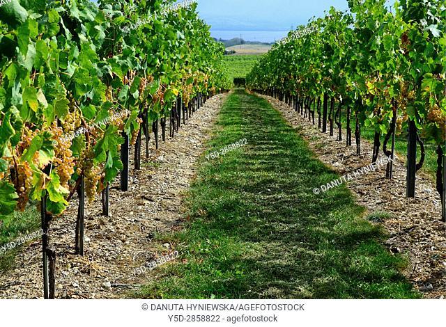 Europe, Switzerland, Canton Vaud, La Côte, Morges district, Féchy vineyards, grape harvest time, Lake Geneva in far background