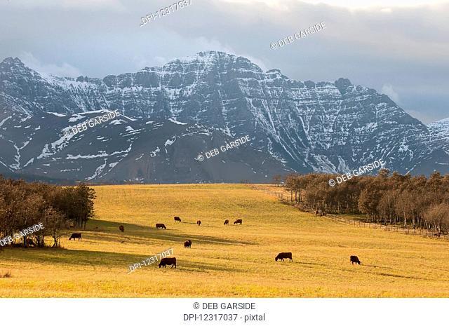 Cattle grazing on Alberta farmland, with Canadian Rocky mountains; Alberta, Canada
