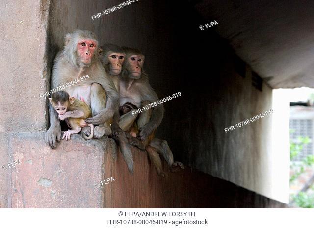 Rhesus Macaque Macaca mulatta three adults, with babies, sitting on ledge under bridge, Jaipur City, Rajasthan, India
