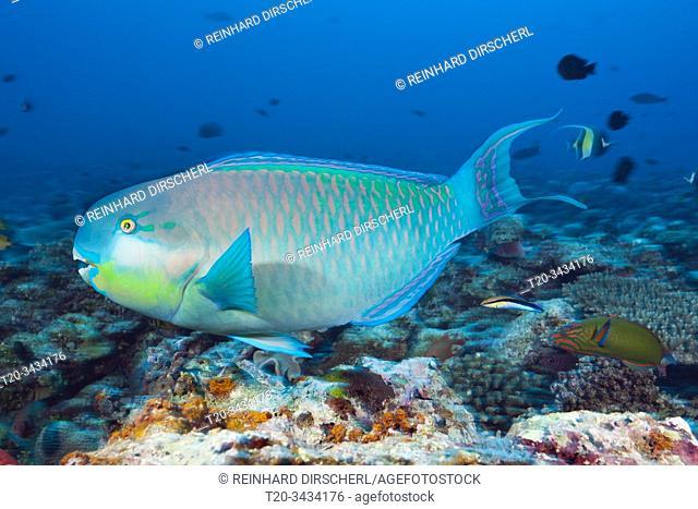 Indian Steephead Parrotfish, Scarus strongylocephalus, Felidhu Atoll, Indian Ocean, Maldives