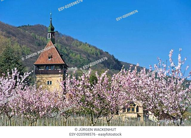 Siebeldingen, Geilweilerhof, Mandelbaumblüte