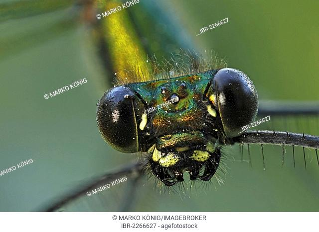 Banded Demoiselle (Calopteryx splendens), female, detail view, Bad Hersfeld, Hesse, Germany, Europe