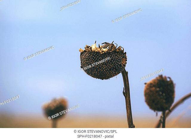 Dry sunflower crop during drought