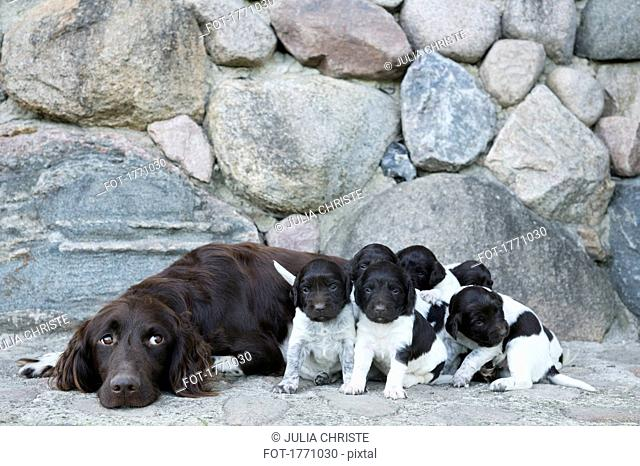 Springer Spaniel and puppies