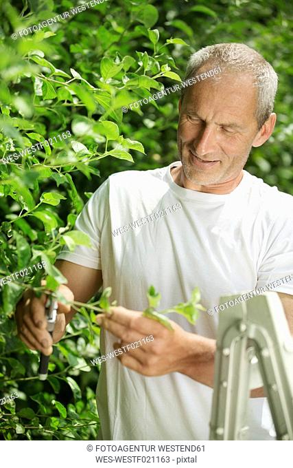 Man pruning plants with gardening clipper in the garden