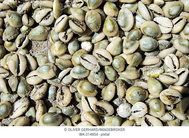 Cypraeidae shells, Matemo island, Quirimbas islands, Mozambique, Africa
