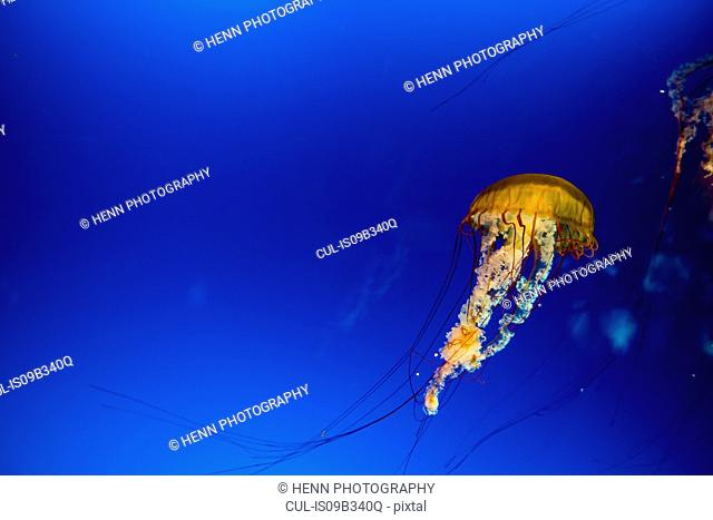 Sea Wasp Jellyfish (Chironex fleckeri) swimming underwater in blue sea, the deadliest jellyfish able to poison and kill up to 60 adults
