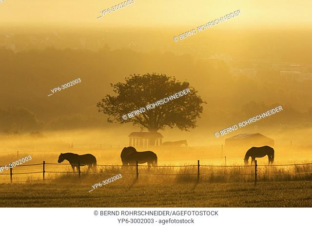 horses grazing on meadow with fog at sunrise, near Mattheiser forest, Trier, Rhineland-Palatinate, Germany