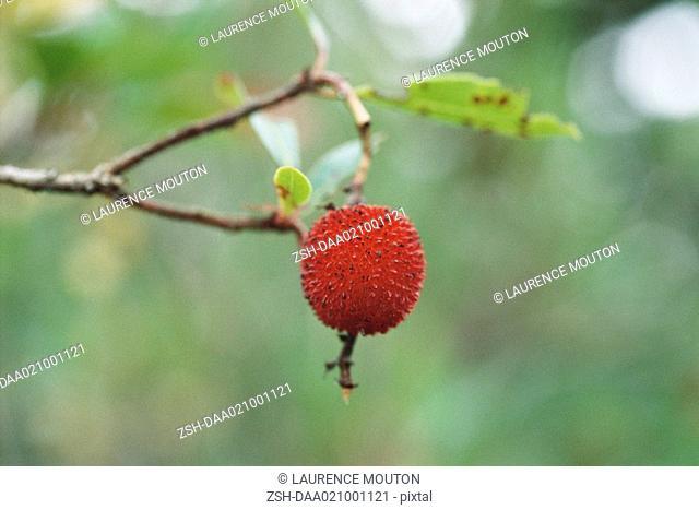 Arbutus berry on tree, close-up