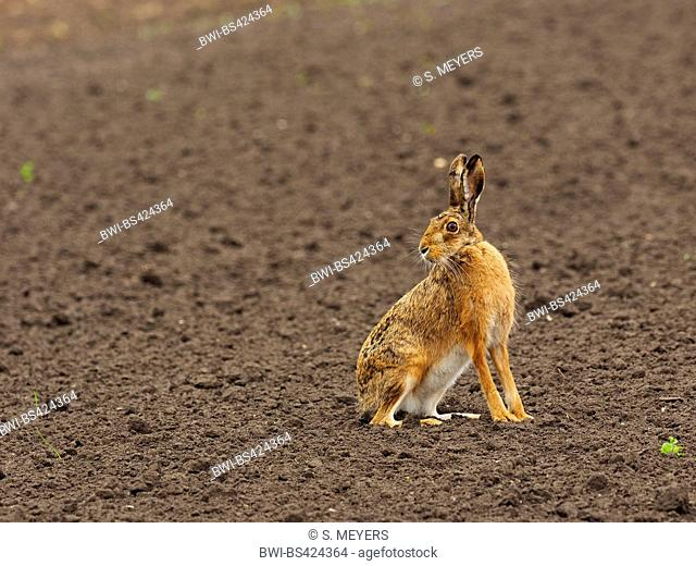 European hare, Brown hare (Lepus europaeus), sits in a field securing, Austria, Neusiedler See National Park