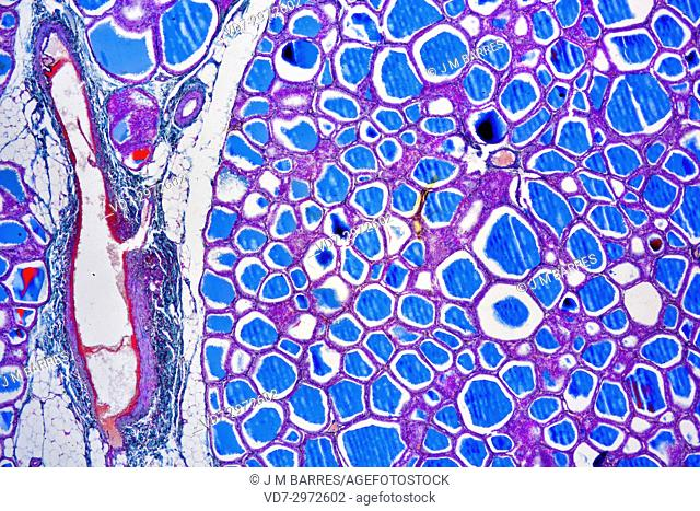 Human thyroid gland showing follicles, endothelial cells and follicular cells. Optical microscope X40