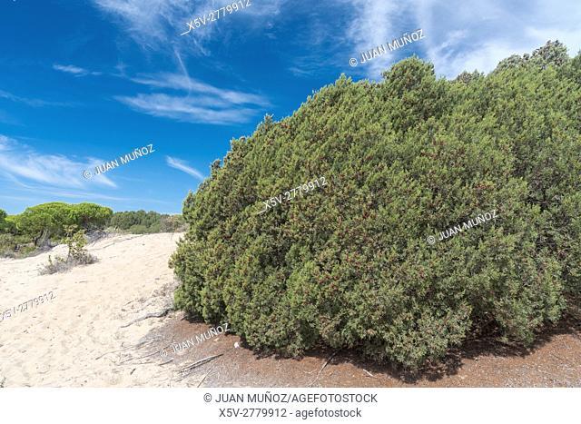 Enebrales Natural Park of Punta Umbria, Huelva, Andalucia, Spain