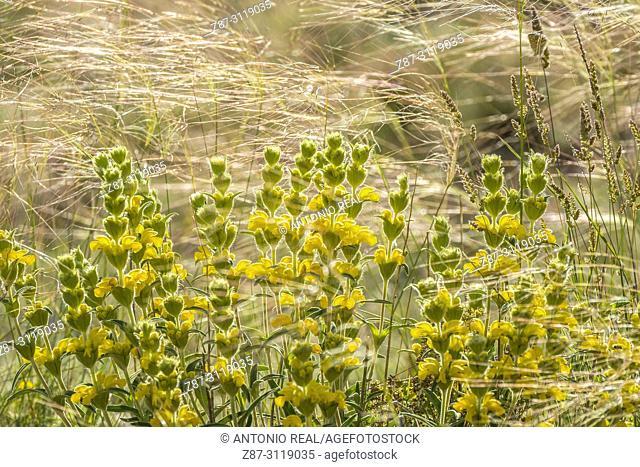 Stipa lagascae and Candilera (Phlomis lychnitis). Almansa. Albacete. Spain