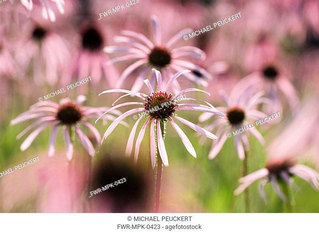 Echinacea pallida, Echinacea / Purple coneflower
