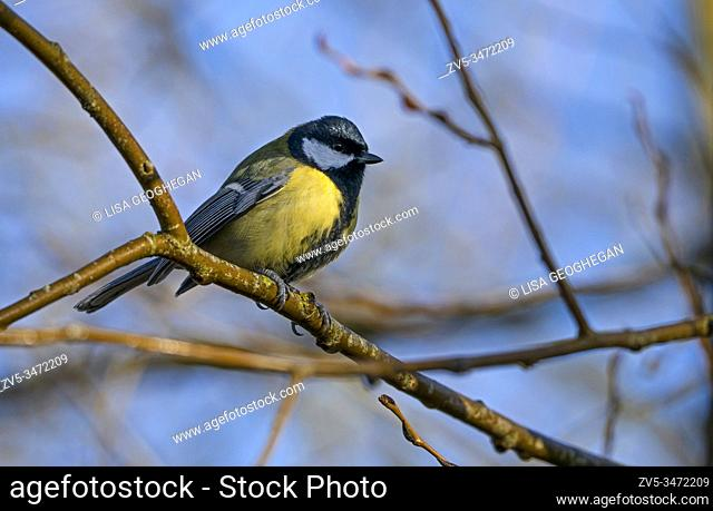 Male Great Tit - Parus major perches in tree. Winter