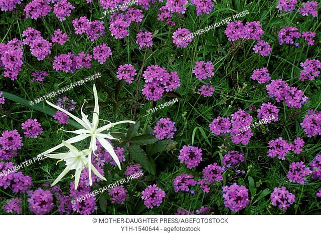 Spider Lily and purple verbena