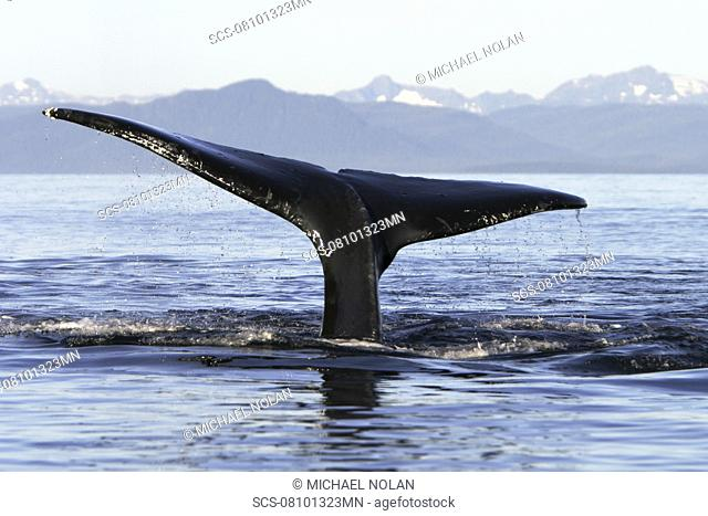 Adult Humpback Whale Megaptera novaeangliae fluke-up dive in Icy Straits, Southeast Alaska, USA Pacific Ocean