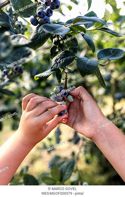 Hands of little girl picking blueberries in the garden