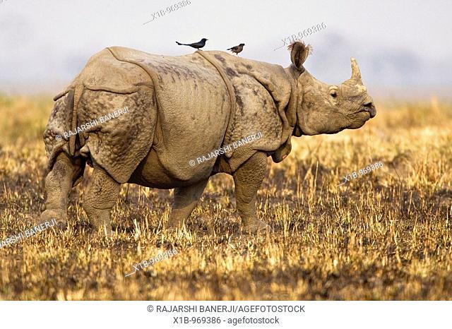 Great Indian Rhinoceros  Rhinoceros unicornis  at Kaziranga National Park A World Heritage Site at Assam, India