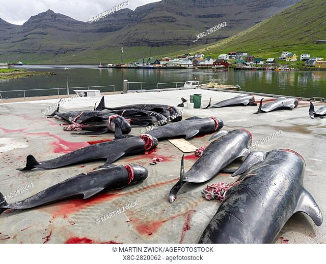 Whaling ( Grindadrap ) Long Finned Pilot Whale (globicephala melas) on the Faroe Islands, Hvannasund 2016. Whaling on the Faroe Islands is for subsistance and...