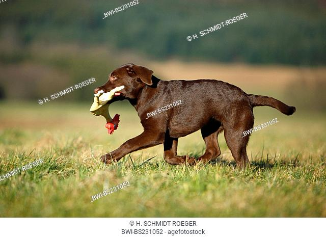 mixed breed dog (Canis lupus f. familiaris), puppy of Labrador mix retrieving a rubber cock, Germany