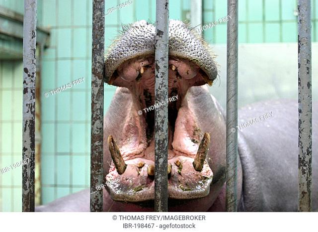 A hippo (Hippopotamus amphibus) in the zoo of Frankfurt (Germany) yawns behind the bars. Frankfurt, Hesse, Germany