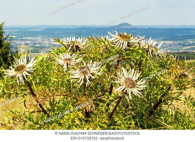 Carline thistles with the famous hill Hohenstaufen in Germany