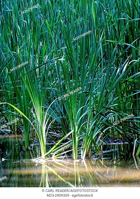Thick, tall grasses grow in water, Pennsylvania, USA