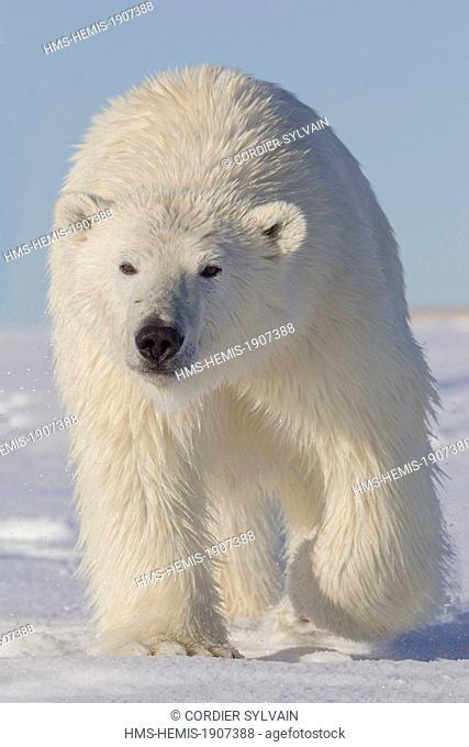 United States, Alaska, Arctic National Wildlife Refuge, Kaktovik, Polar Bear (Ursus maritimus), yearling