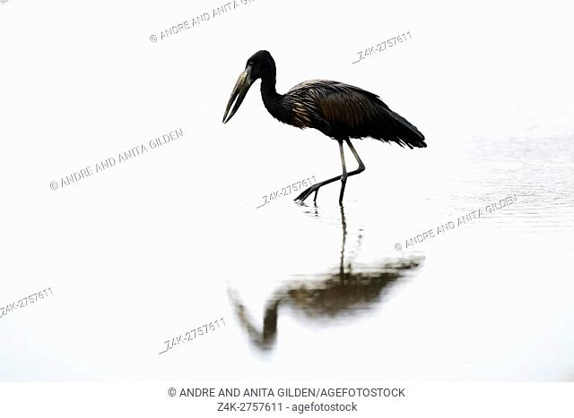 African Open-billed Stork (Anastomus lamelligerus) wading in water at dusk, Kruger national park, South-Africa