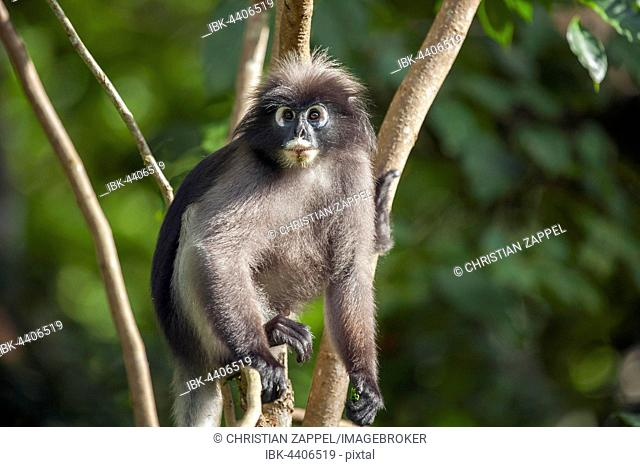 Dusky leaf monkey, also spectacled langur or spectacled leaf monkey (Trachypithecus obscurus) in tree, Kaeng Krachan National Park, Phetchaburi, Thailand