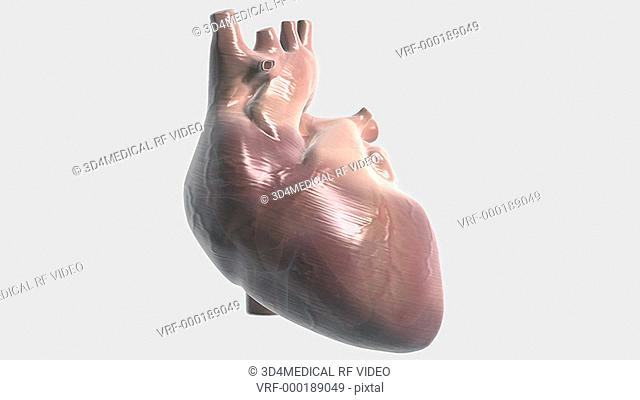Animated beating heart that rotates slowly and transitions twice into an x-ray style image revealing the chambers of the heart