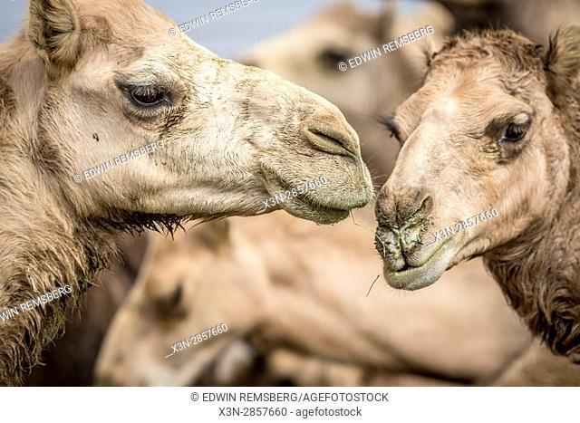 Camel calves standing together at the Al Ain Camel Market in Abu Dhabi, UAE