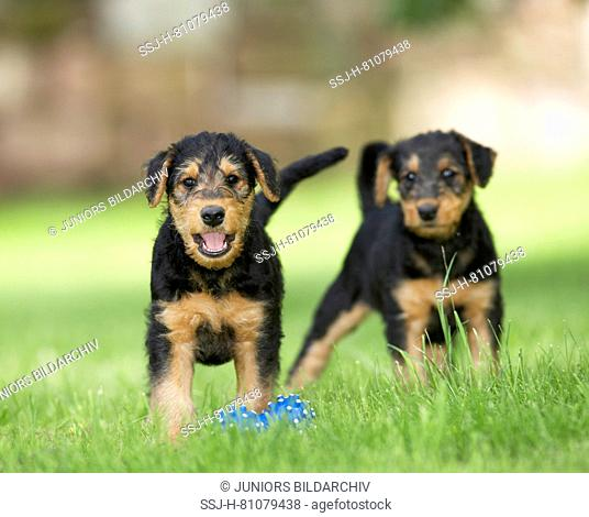 Airedale Terrier. Two puppies standing next to blue toy bone in grass. Germany