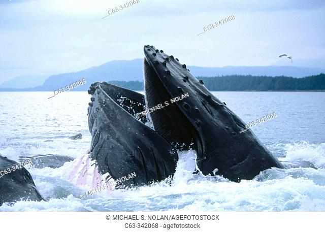 Humpback Whale(Megaptera novaeangliae). Alaska. USA