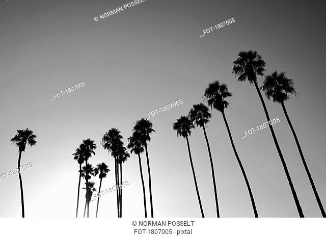 Silhouetted palm trees against sunny sky, Santa Barbara, California, USA