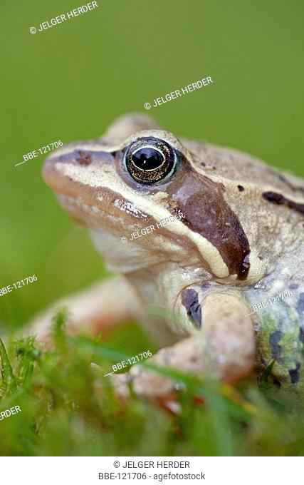 vertical portrait of a male moor frog against a green background