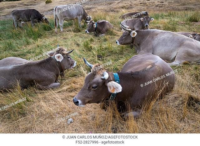 Cows, Santa Orosia Range, Jacetania, Huesca, Aragon, Spain, Europe