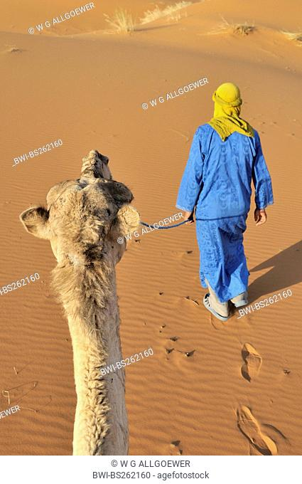 dromedary, one-humped camel Camelus dromedarius, with camel guide in the desert, Morocco, Erg Chebbi