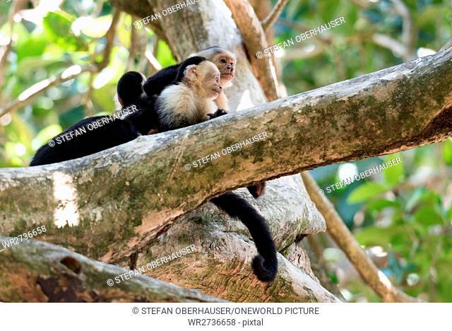 Costa Rica, Puntarenas, Quepos, Manuel Antonio National Park, Three White-faced Capuchin monkeys on a tree, White-faced Capuchin monkey - Cebus capucinus