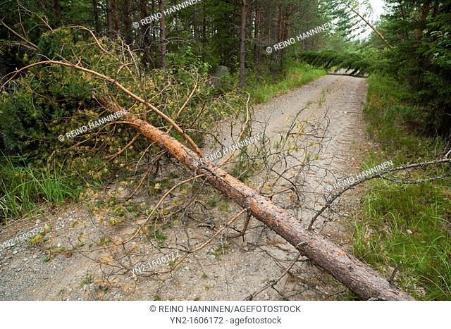Storm damages in the forest , caused by strong winds , fallen pine trees , pinus sylvestris blocking road  Location Suonenjoki Finland Scandinavia Europe