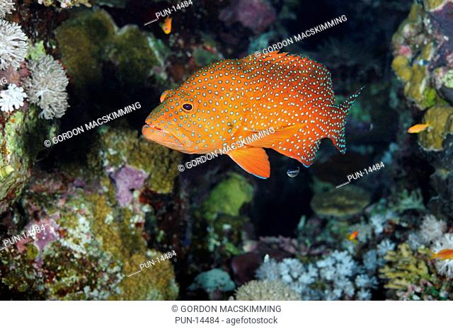 Given its distinctive colour pattern the coral hind Cephalopholis miniata is not too difficult to identify Despite appearing to live a solitary existance