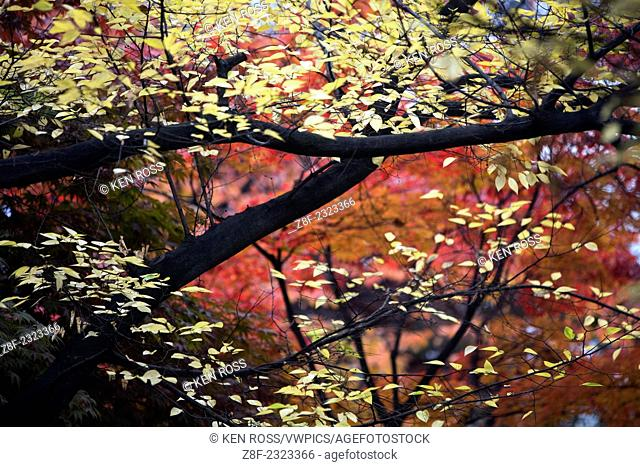 Autumn Leaves, Seoul, Korea