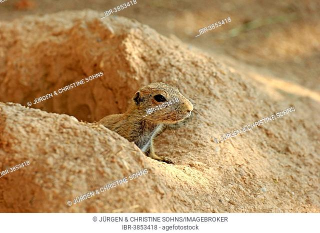 Black-tailed Prairie Dog (Cynomys ludovicianus), young at burrow, captive, Baden-Württemberg, Germany