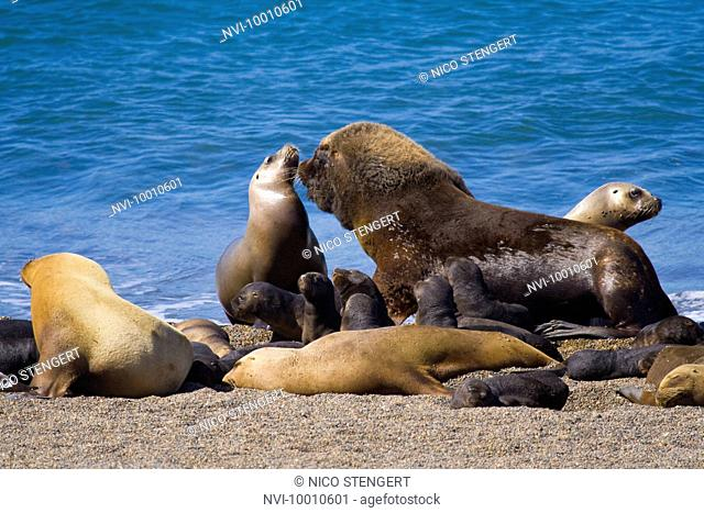 South American Sea Lion or Southern Sea Lion, Otaria flavescens, Valdes Peninsula, Argentina, South America