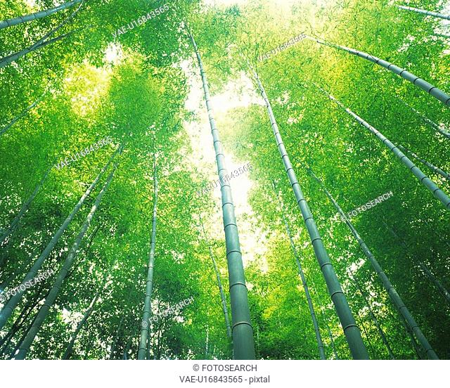 Several Bamboo Trees Lined Up Next to Each Other, the Sun Shining Through, Low Angle View